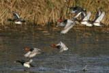 Tufted Duck (Aythya fuligula) - vigg -  and Common Pochard (Aythya ferina) - brunand