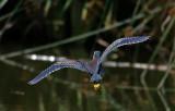 Green Heron (Butorides virescens anthonyi)