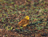 Yellowhammer (Emeriza citrinella)