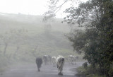 Cows in the mist.jpg