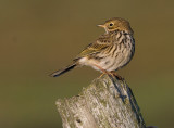 Meadow Pipit -  Engpiber- Anthus pratensis