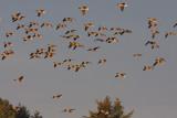 Pink-footed Goose - Kortnæbbet  Gås - Anser brachyrhynchus