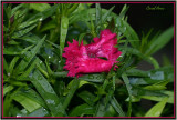 Dianthus Water Drops