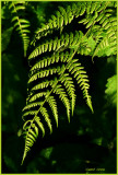 Fern in Oregon