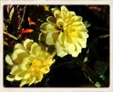 Dahlias Yellow.jpg