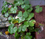 Shamrocks in January