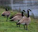 Geese in the rain January 2010