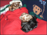 Yorkie Boys Bed Time
