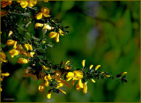 Weed Scotch Broom.jpg