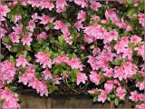 Azaleas Pink