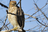 001f: Red-shouldered Hawk (Buteo lineatus)