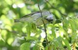 2010Mgrtn_1805-Tennessee-Warbler.jpg