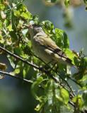 2010Mgrtn_1820-Tennessee-Warbler.jpg