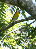2010Mgrtn_1825-Yellow-breasted-Chat.jpg