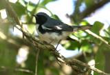 2010Mgrtn_1855-Black-throated-Blue-Warbler.jpg