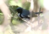 2010Mgrtn_1865-Black-throated-Blue-Warbler.jpg