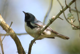 2010Mgrtn_1870-Black-throated-Blue-Warbler.jpg