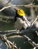 2010Mgrtn_1880-Black-throated-Green-Warbler.jpg