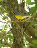 2010Mgrtn_1920-Canada-Warbler.jpg