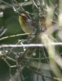 2010Mgrtn_1925-Palm-Warbler.jpg