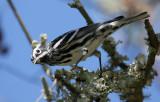 2010Mgrtn_1960-Black-and-White-Warbler.jpg
