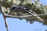 2010Mgrtn_1970-Black-and-White-Warbler.jpg