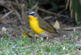 2010Mgrtn_1995-Yellow-breasted-Chat.jpg