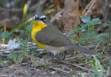 2010Mgrtn_2000-Yellow-breasted-Chat.jpg