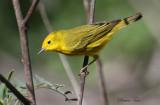2010Mgrtn_2080-Yellow-Warbler.jpg