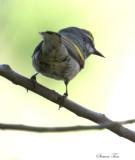2010Mgrtn_2110-Golden-winged-Warbler.jpg