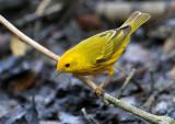 2010Mgrtn_2140-Yellow-Warbler.jpg