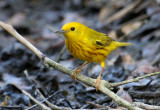 2010Mgrtn_2145-Yellow-Warbler.jpg