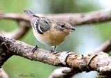 2010Mgrtn_2175-Bay-breasted-Warbler.jpg
