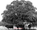 tres vacas bajo un arbol