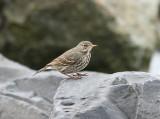 Rock Pipit, Skärpiplärka, Anthus petrosus