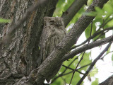 Striated Scops Owl, Blek dvärguv, Otus brucei