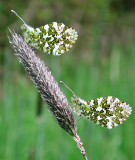 Orange Tip Butterflies