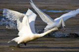 Swans Dispute