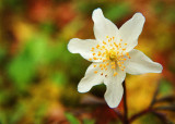 Wood Anemone, Burren, Co. Clare