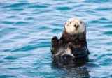 Sea Otter, Elkhorn Slough