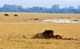 Amboseli Male Feeding