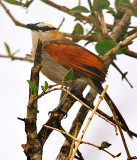 Black-crowned Tchagra (Tchagra senegala)