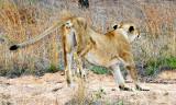 Injured Lioness