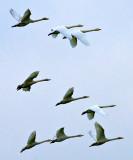 Whooping Swans (Cygnus cygnus)