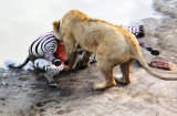 Lioness Feeding 3