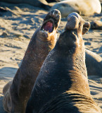 Elephant Seal Face-off