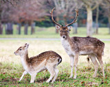 Fallow Deer,  Phoenix Park