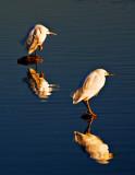 Snowy Egrets at Dawn