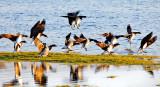 Brent Geese Landing