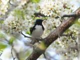 Black-throated blue warbler 3